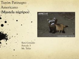 Turón Patinegro Americano (Mustela nigripes)