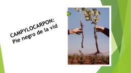 15.- CAMPYLOCARPOON