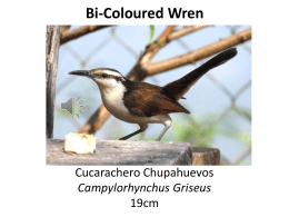 Bi-colored Wren - La Pacha Hostel