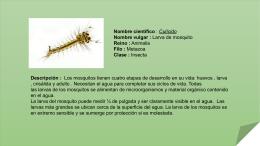 Larva de mosquito (190083)