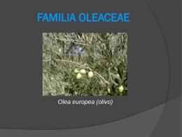 FAMILIA OLEACEAE