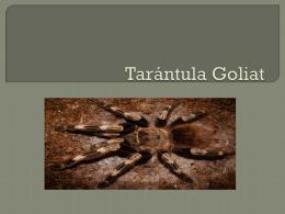 Tarántula Goliat (266051)