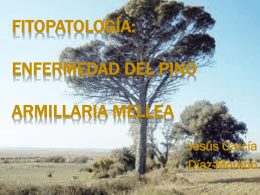 Fitopatología: Enfermedad del pino armillaria mellea