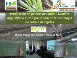 Propagación in vitro y comercialización del bambú
