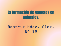 La formación de gametos en animales. Beatriz Hdez.