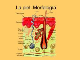 La piel: Morfología