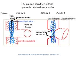 Célula con pared secundaria pares de punteaduras