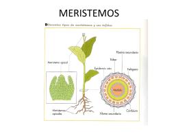 MERISTEMOS