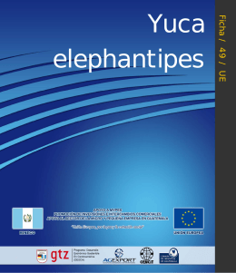 Yuca elephantipies