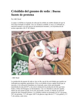Crisálida del gusano de seda : Buena