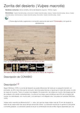 Zorrita del desierto (Vulpes macrotis) - Bios