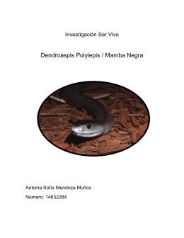 Dendroaspis Polylepis / Mamba Negra
