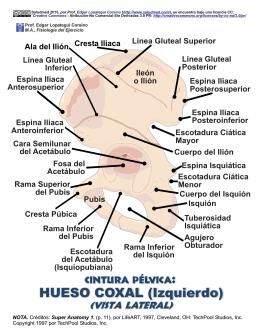 HUESO COXAL (Izquierdo) - VISTA LATERAL: IMAGEN