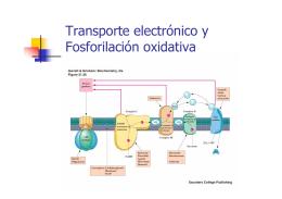 Transporte electrónico y Fosforilación oxidativa
