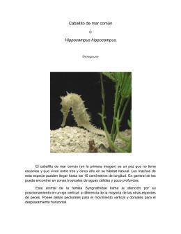 Caballito de mar común o Hippocampus hippocampus