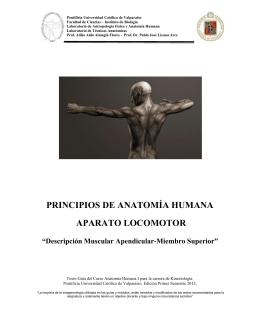 descripción músculos escapulares - Pontificia Universidad Católica