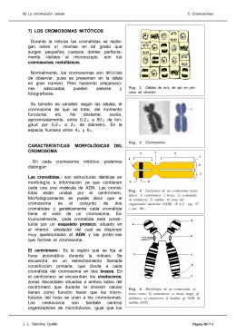 7) LOS CROMOSOMAS MITÓTICOS Durante la mitosis