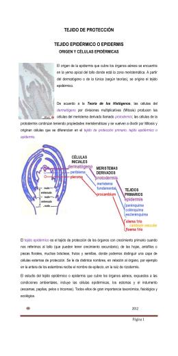 TEJIDO DE PROTECCIÓN TEJIDO EPIDÉRMICO O EPIDERMIS
