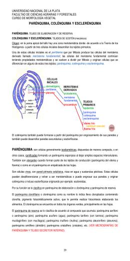 parénquima, colénquima y esclerénquima