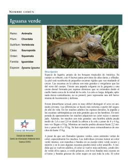 Iguana verde - Cuenca Hidrográfica del Canal de Panamá