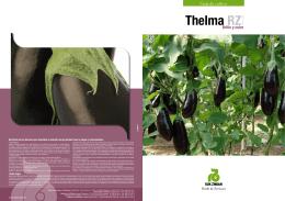 Thelma RZ - Rijk Zwaan
