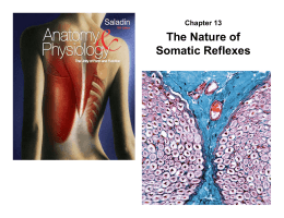 Chapter 13 The Nature of Somatic Reflexes