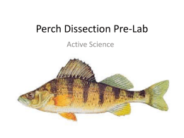 Perch Dissection Prelab PowerPoint