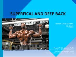 ANAT_Module_3_-_Superfical__Deep_Back