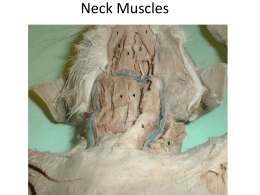 Neck Muscles - Belle Vernon Area School District
