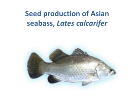 Seed production of Asian seabass.ppt