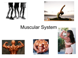 Muscular System - Northside Middle School