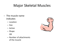 Muscles Action, origin, insertion