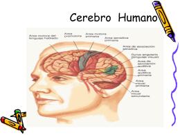 Sistema Nervioso Cerebro 3F